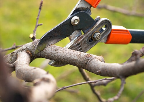 pruning shears cutting branch
